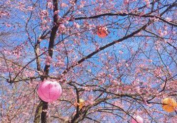 Cherry trees in Slottsskogen / Gothenburg